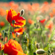 Red poppy — Stock fotografie #28743065