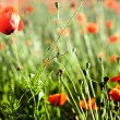 Foto de Stock  : Red poppy