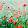Red poppy — Stock Photo #28743335