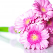 Pink gerbera flowers — Photo