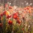 klatschmohn — Stockfoto #28743533