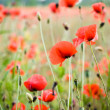 Red poppy — Stockfoto #28744163