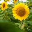 Sunflower — Stock Photo #28746875