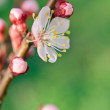 Stock Photo: Blossom chery tree