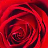 Beautiful close up red rose — Stock Photo