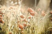Красные маки на зеленом поле — Стоковое фото