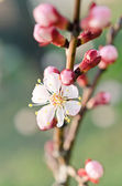 Beautiful cherry tree — Stock Photo