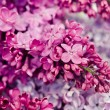 Blooming flower of purple lilac — Stock Photo