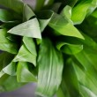 Wild Garlic — Stock Photo #28764169