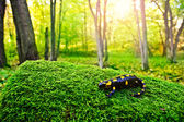A black yellow spotted fire salamander — Stock Photo