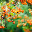 Rowan berries on a tree — Foto Stock