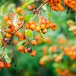 Rowan berries on a tree — Stok fotoğraf
