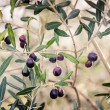 Mature olives on tree. — Stock Photo
