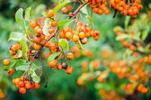 Rowan berries on a tree — Stock Photo