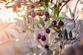 Mature olives on tree. — Stock Photo