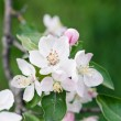 White cherry flowers — Stock Photo