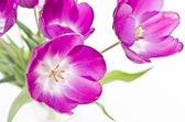 新鲜的粉红色郁金香 — 图库照片