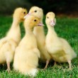 Little ducks — Stock Photo
