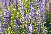 Lavender flower — Stock Photo