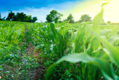 Closeup green corn stalks and field — Stock Photo