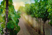 Vineyard rows in spring — Stock Photo