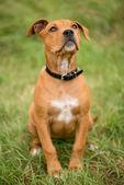 Собака сидит и смотрит — Стоковое фото