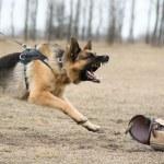 German shepherd at dog training — Stock Photo #39357353