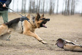 German shepherd at dog training — 图库照片