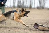 German shepherd at dog training — Stock Photo