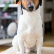 Cute dog at home — Stock Photo #39888727