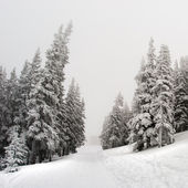 Snow covered pine trees - winter background — Stock Photo