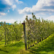 Apple plantation — Stock Photo #48592887