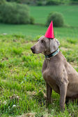 Birthday dog with a red hat — Stock Photo