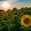 Field of blooming sunflowers on a background sunset — Stock Photo #50175443