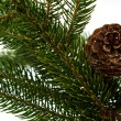 Pine branches with pine cones on white — Stock Photo