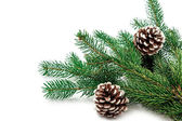 Pine branches with pine cones on white — 图库照片