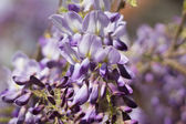 Purple acacia — Stockfoto