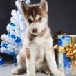 Cute husky puppy — Stock Photo