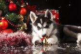 Cute husky puppy — Stock Photo