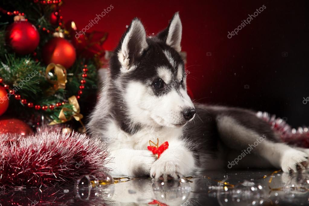 Facebook Husky Puppies Siberian Husky Puppy With