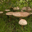 Parasol mushrooms — Stock Photo #12107643