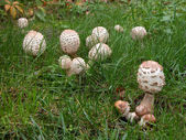Parasol mushrooms — Stock Photo