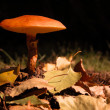 Slippery Jacks (Suillus) — Stock Photo