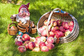 Basket of apples and the garden gnome — Stock Photo