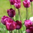 Maroon tulips , selective focus — Stock Photo