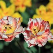 Mottled red and white tulips - Stock Photo