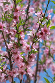 Blooming peach, selective focus — Stock Photo