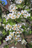 Pear blossom close-up, selective focus — Stock Photo
