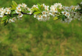 Branch of blossoming plum — Stock Photo