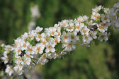 Plum blossom branch — Stock Photo